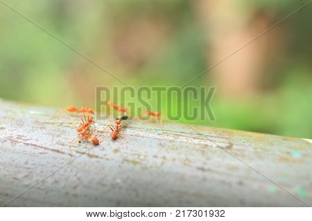 Red Ant In The Garden