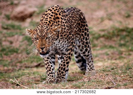 Panthera Pardus (African Leopard) in a hunting position on the plains in south luangwa national park, Zambia