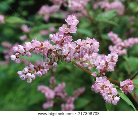 Lovely pink flowers of the Lesser Knotweed. Also known as Persicaria campanulata.
