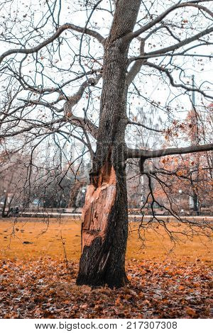 The old tree with the mutilated barrel into which the lightning hit
