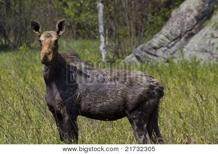 Shedding Moose