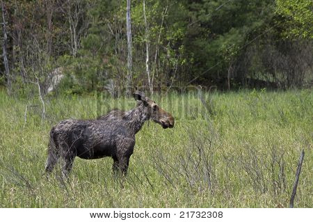 Young Moose in Spring