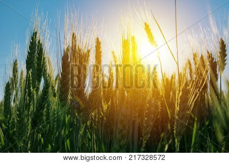 Green cultivated agricultural barley field against summer sun