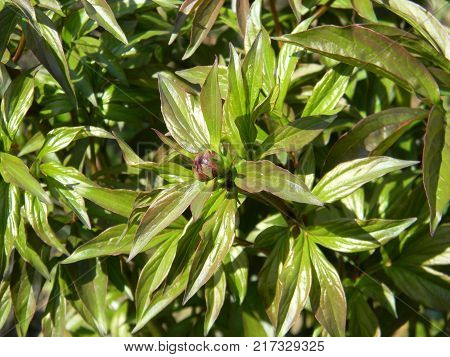 Bud of beautiful peony flower in garden. Coseup.