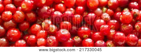 Fresh natural cowberry. Fresh ripe cowberry berries as background.