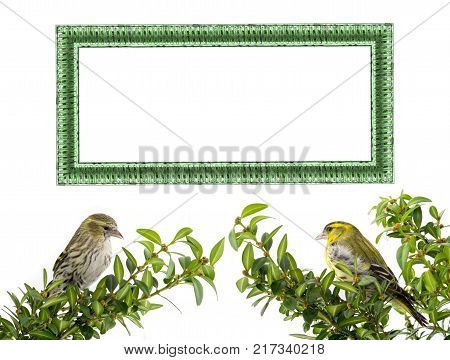 Male, female siskin and frame  on a white background