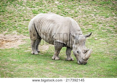 Big White rhinoceros - Ceratotherium simum simum. Animal scene. Critically endangered animal species.