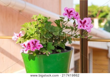 Striped pink flowers of hibiscus in the green flowerpot outdoo