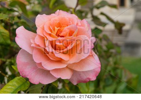 Pink tea rose grows in the garden on a nasty day