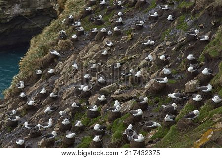 Large group of Black-browed Albatross (Thalassarche melanophrys) nesting on the cliffs of Saunders Island in the Falkland Islands.