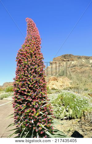 Mount Teide National Park Teide bugloss plant in Tenerife