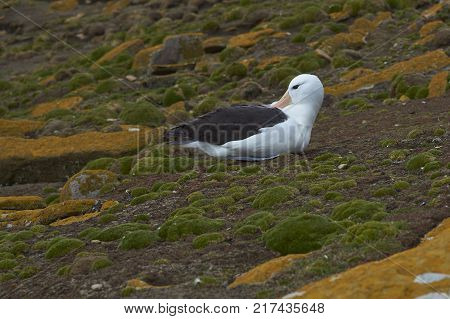 Black-browed Albatross (Thalassarche melanophrys) sitting on the cliffs of Saunders Island in the Falkland Islands.