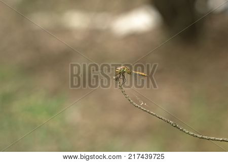 Sympetrum vulgatum (vagrant darter) with drooping wings. Closeup