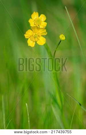 Yellow buttercup isolated flowers. Spearworts, water crowfoot. Blurred background