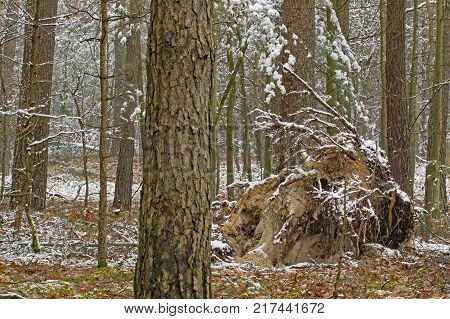 A tall, pine forest. Tall, young pines grow between tall trees. . It is the beginning of winter. The ground and tree branches are covered with a thin layer of snow. In the middle you can see the root of the fallen tree.