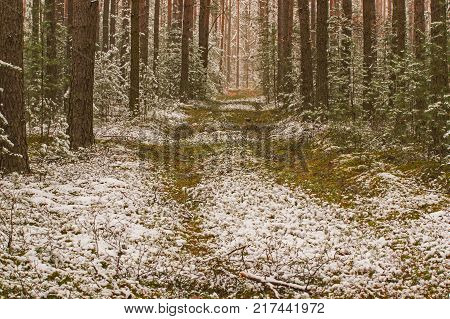 A tall, pine forest. Tall, young pines grow between tall trees. A forest road leads through the forest. It is the beginning of winter. The ground and tree branches are covered with a thin layer of snow.