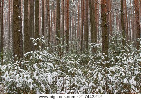 A tall, pine forest. Tall, young pines grow between tall trees. . It is the beginning of winter. The ground and tree branches are covered with a thin layer of snow.