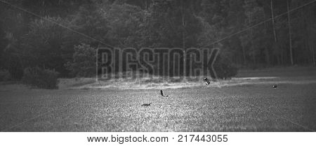 Black and white wildlife photo of a fox chasing some birds on a field