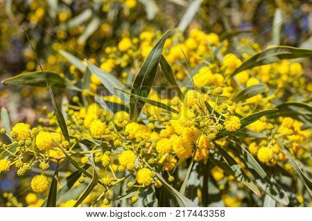 Blossoming of mimosa tree. Acacia pycnantha, golden wattle close up in spring, bright yellow flowers.