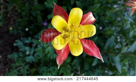 Aquilegia, granny's bonnet, columbine flower with red and yellow petals fully open and blooming on green leaves background