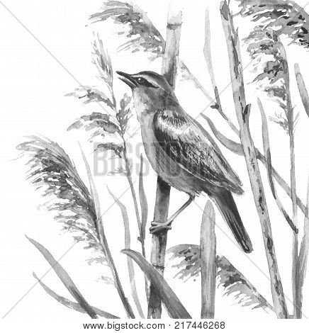 Watercolor painting. Hand drawn illustration. Marsh bird sings in reeds. Monochrome songbird isolated on white.