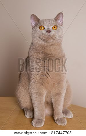 British Shorthair cat sits at full height front legs straight look up above the camera. bright yellow eyes the color of the hair purple or grey