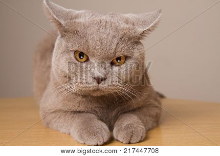 British shorthair cat unhappy closeup looking directly at the camera its ears in different directions. Angry cat is located closely to the lens front paws
