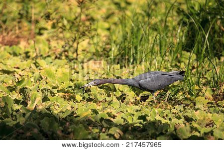 Little Blue Heron Bird Egretta Caerulea Hunts For Frogs