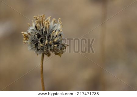 Dried and delicate Pebble Pincushion wildflower in the desert sandstone of Utah.
