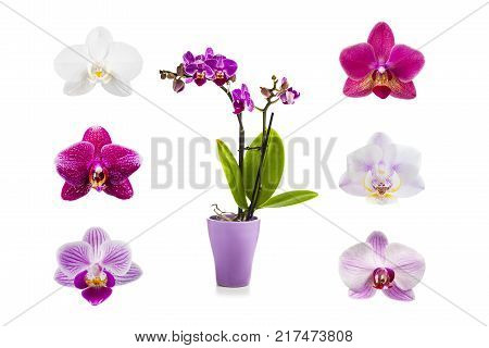 Orchid In Pot On A White Background.