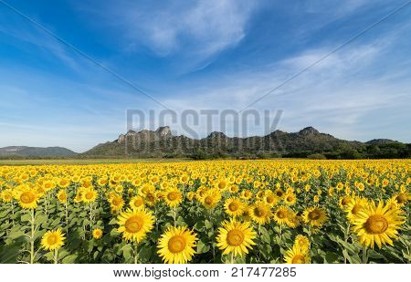 beautiful sunflower fields with mountain background on blue sky the Famous Attractions flower on winter in Lop buri province