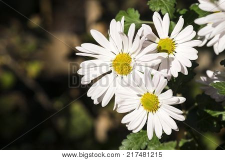 Large white flowers of max chrysanthemum (Leucanthemum maximum)