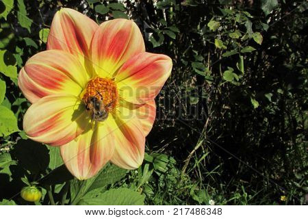 A large bumblebee in a black and yellow strip pollinates the bright yellow-orange-red flower of the dahlia
