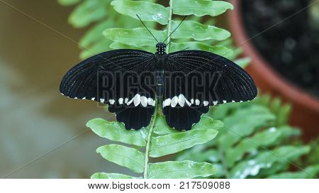 Black with white stripes butterfly Common Mormon Papilio polytes , male, is found in Asia, in natural habitat of green forest