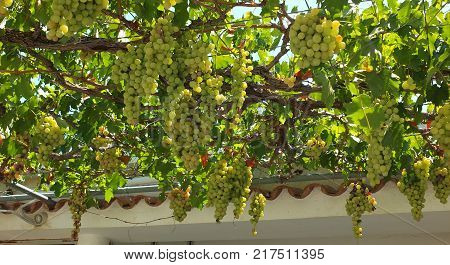 White Grapes Hanging creating a shadowy atrium