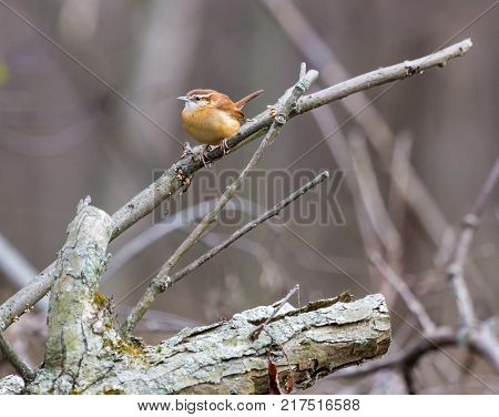 Carolina Wren perched in a boreal forest Quebec Canada on a freezing cold day in late autumn.