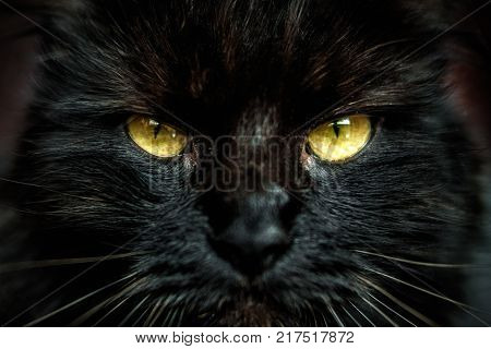 Front look of face of black furred cat with yellow eyes. Shallow depth of field.
