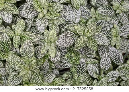 Beautiful background of nerve plant's (Fittonia argyroneura) white and green leaves, viewed from above.