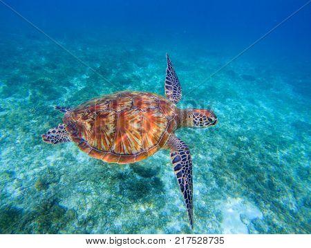 Sea turtle closeup in sea water. Green sea turtle closeup. Wildlife of tropical coral reef. Tortoise undersea. Tropical seashore nature. Big turtle in blue water. Aquatic wild animal underwater photo