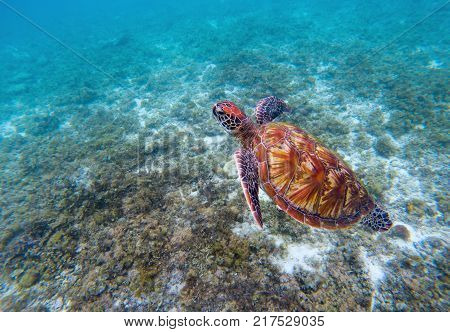 Wild sea turtle in seashore. Green sea turtle closeup. Endangered species of tropical coral reef. Marine tortoise photo. Tropic sea shore fauna. Summer travel seaside activity. Sea turtle snorkeling