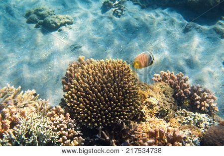 Underwater landscape with coral reef and butterfly fish. Butterflyfish undersea photo. Coral reef. Sea bottom with coral ecosystem. Tropical seashore snorkeling. Marine relief landscape. Tropic lagoon
