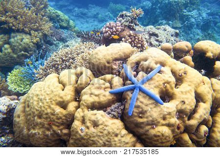 Starfish on coral reef. Yellow coral and blue starfish. Star fish on seashore underwater photo. Tropical snorkeling banner template. Seashore fauna. Marine aquarium. Coral reef garden. Undersea animal