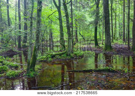 Summertime sunrise in wet deciduous stand of with standing water, Bialowieza Forest, Poland, Europe