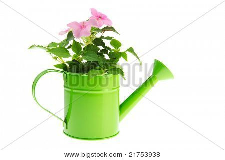 Green watering can with pink Busy Lizzy on white background