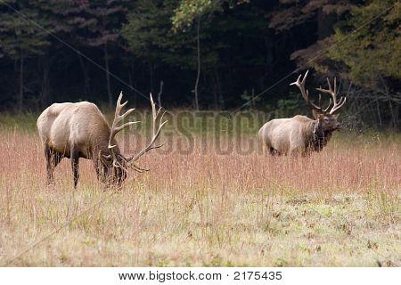 Two Male Elk