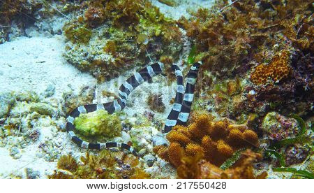 Black and white sea snake underwater photo. Dangerous marine animal. Poisonous sea snake swims in shallow water. Striped seasnake. Seaside life threat. Aquatic animal. Seashore snorkeling threat