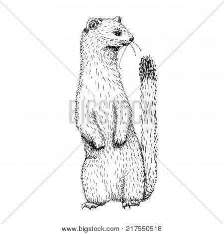 Sketch line art drawing of ermine. Black and white vector illustration. Cute hand drawn animal.