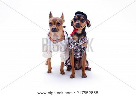 Cute couple of dressed chihuahua and toy terrier. Beautiful russian toy chihuahua and toy terrier wearing modern apparel, isolated on white background. Russian toy terrier and chihuahua, studio shot.