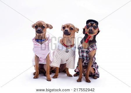 Purebred miniature dogs, studio shot. Beautiful tiny russian chihuahua toy and two toy-terriers sitting over white background, studio shot.