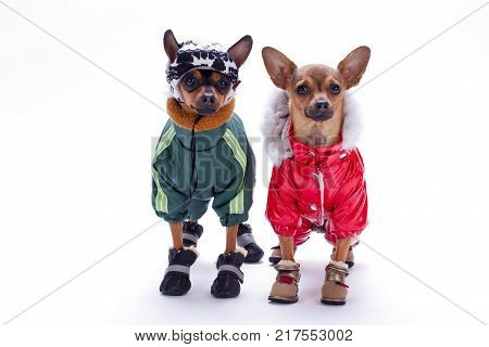 Tiny chihuahua and terrier toys in winter costumes. Studio portrait of cute russian toy terrier and chihuahua dressed in modern sport apparel, isolated on white background.